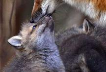 What Does the Fox Say? / by Wessa O'Wynn