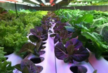 Hydroponic Gardening / Hydroponics is a method of growing plants using mineral nutrient solutions, in water, without soil. Terrestrial plants may be grown with their roots in the mineral nutrient solution only or in an inert medium, such as perlite, gravel, mineral wool, or coconut husk. Source = http://hydropedia.com/index.php?title=Hydroponic / by Jeff Edwards