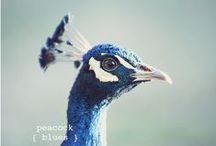 Peacocks / by Kaley Walters