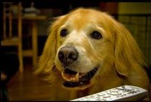 """Golden Retrievers / I've had other dogs, G. Shepherds, Golden Lab, and for 30 years schnauzers.  But now i have a Golden Retriever I call my """"Beau-Friend"""" and is he ever, so smart & so loving.  He's also a rescue dog but so-well trained and minds so well.   Thanks to all those i have repinned Goldens photos from.   / by Mary Rose"""