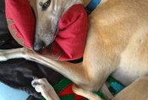 Greyhounds and other Sighthounds!!