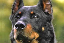 Dogs ~ Beauceron  / The Beauceron is an old French breed of herding dog developed solely in France with no foreign crosses. He is a well balanced, solid dog of good height and well muscled without heaviness or coarseness. The whole conformation gives the impression of depth and solidity without bulkiness, exhibiting the strength, endurance and agility required of the herding dog. With a a noble carriage, he is a formidable dog with a frank and unwavering expression, always demanding respect wherever he goes.  / by Carmen Hansen Schwitzer