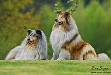 "Dogs ~ Collie / Although a large, active dog, the Collie is both elegant and graceful, appearing to float over the ground as it runs. Loyal and affectionate, the breed is naturally responsive to humans. Marked characteristics include the beautiful coat of the rough variety, the breed's lean wedge-shaped head and collie ""expression"". The Collie presents an impressive, proud picture of true balance, each part being in harmonious proportion to every other part and to the whole.  / by Carmen Hansen Schwitzer"