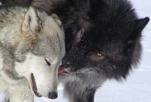 "W O L V E S / ""beauty of the pack"" / by Carmen Hansen Schwitzer"