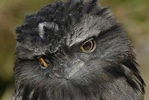 Frogmouths *-* / It really makes me happy to introduce the cutest bird of all time Ladies & Gentlemen, Tawny Frogmouth♥