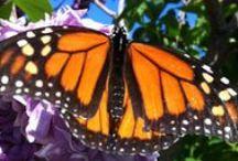 Butterflies / by Wayfaring Stranger
