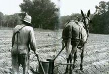 Mule Skinning in honor of ole Frank and Murt / Mules and donkeys.