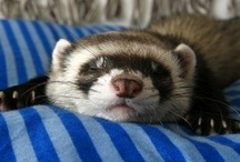 Ferrets / I love my fuzzy ferret babies. Here's a board dedicated to my fuzzy pets. / by Brittany G.