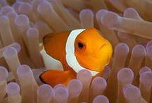 Nemo / Clown fish, Anemone fish or Nemo in his various guises.