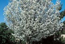 Flowering Trees and Shrubs / Photos of trees and/or shrubs with blooms.