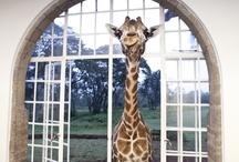 giraffes / by Ann Streharsky