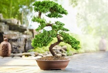 Bonsai / by Ann Streharsky