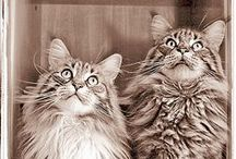 Maine coon cats / My favorite kind of kitty...so beautiful!