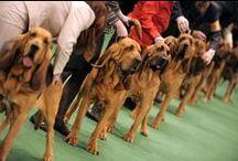 Dog Show / Land O Lakes Kennel Club Dog Show coming to Saint Paul RiverCentre in Saint Paul, Minnesota on Jan. 3-5, 2014