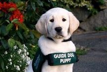Guide Dogs/Service Dogs / Giving the gift of sight. Guiding Eyes for the Blind provided my first guide dog. This Board is to share about and enjoy our Guide Dogs and Service Dogs.