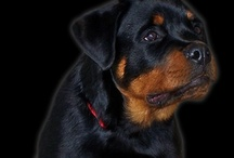 Rotties / Love my Rottie Zoey, she is a rescue. Enjoy my pictures of Rotties they are wonderful dogs, very protective~ / by Janet Hall