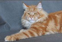 Cats - Kočky / cats and felines - kočky a kočkovité šelmy