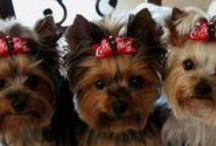 Macy, Izzy & Emmy might like.......... / My three Yorkie's   / by Debbie Elrod