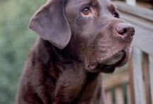 labradors / Happiness is being owned by a (chocolate) labrador retriever ღ