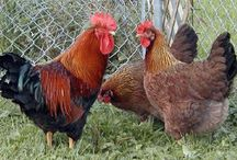 Chickens / by Terri Waters
