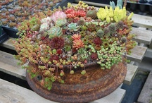Suc it!! / A shrine for my love of succulents! / by Amber Hatchett Designs