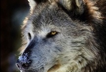 Wolves ♥♥♥