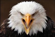 ~~ Eagles & Birds of Prey ~~