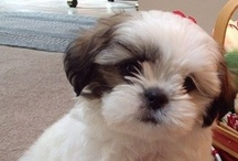 Puppy Love / We are big animal lovers in our house. We have multiple pets but our biggest one is  Shih-Tzu named Cookie. / by Amanda Harless