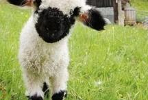 Sheep / by Jo-Ann Intlekofer