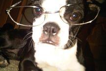 Boston Terrier Love / by Viv b