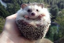 Hodgehegs / Hedgehogs in all shapes and sizes. We do not discriminate here! / by Mira Sundari