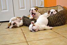 Bulldog.... its so fluffy!