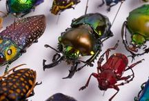 Exquisite Insects / Fascinating in so many ways. I find them to be wonderful design inspiration. The large beetles are great for embroidery designs and serigraphy. / by Dorian Fletcher