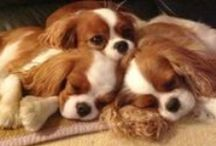 For the Love of Cavalier King Charles Spaniels!