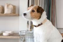 For the Love of Jack Russell Terriers!