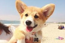 For the Love of Corgis!