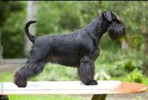 For the Love of Schnauzers!