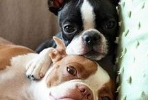For the Love of Boston Terriers!
