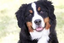 For the Love of Bernese Mountain Dogs!