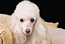 For the Love of Poodles!