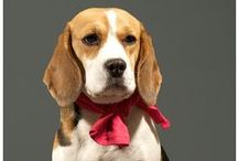 For the Love of Beagles!
