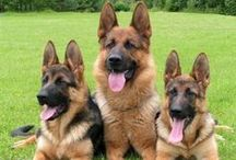 For the Love of German Shepherds!