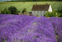 GARDEN:  LAVENDER / Fields of luscious lavender, lavender in the garden, etc.