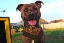 Staffordshire Bull Terrier / Staffies are friendly, enthusiastic and  are truly committed to their human  companions but they do need to be well  socialised from a young age with dogs,  humans and other animals. They are very  eager to please and thrive on training,  so given the right home and some good  training and handling, they are quick to become the paw-fect family pet!
