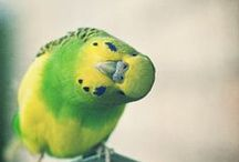 Budgerigars aka Parakeets / Budgerigars are my all time favorite bird.
