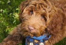 Meet Flynn: NAIT's assisted therapy dog / Flynn the Australian Labradoodle started training to become #NAIT's first assisted therapy dog in the 2013-14 year! Find pictures of Flynn in this board. #yeg #yegpets #dogs