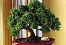 Gardening | Bonsai / Bonsai Care | Garden Centers/Studios, Societies and Shows in Central Texas | Bonsai Online / by Cyndi Ferris