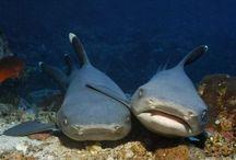 Sharky Love / by Chas Popelka