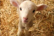 Sheep, Wool & Knitting / by Elizabeth
