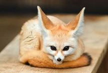 Animals - Fox / by All Kinds of Bubbles